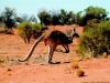 Kangaroo In The Outback