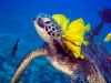 Sea Turtle - Great Barrier Reef