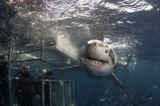 Australia Diving Great White Sharks