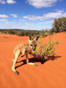 Australia, Northern Territory, Kangaroos