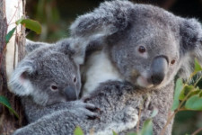 Lone Pine Koala Sanctuary, Gold Coast, Australia