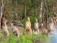 Kangaroo Savannah