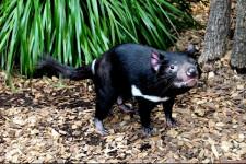 Devils & Wildlife, Tasmania, Australia