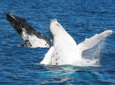 Whale Watching, Brisbane, Australia