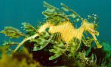 Kangaroo Island, Diving, Leafy Sea Dragon