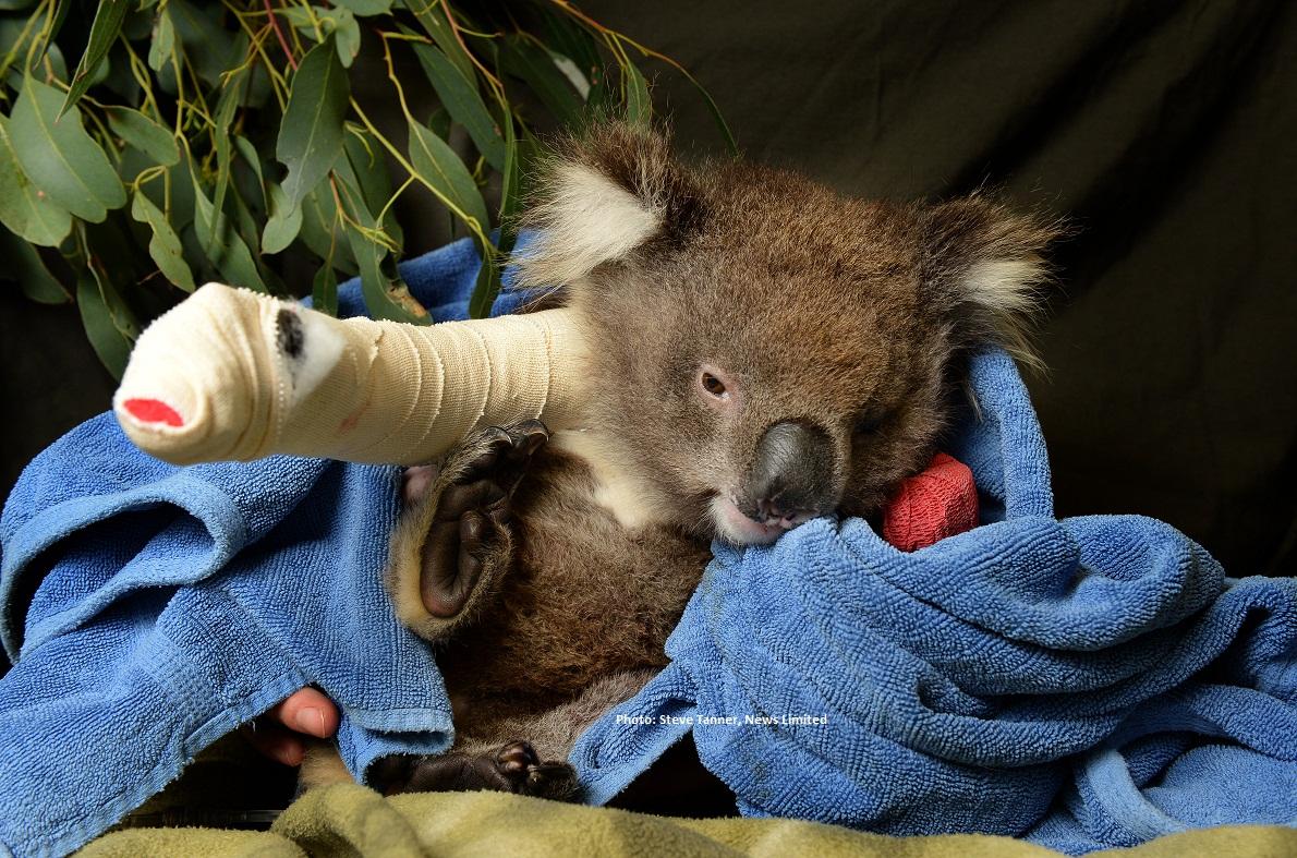 Miracle Surgery On Adorable Baby Koala Healesville Sanctuary