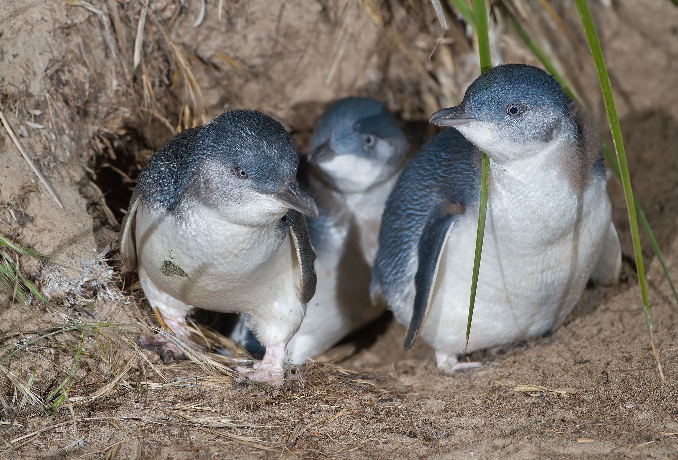 Little Penguins on Phillip Island