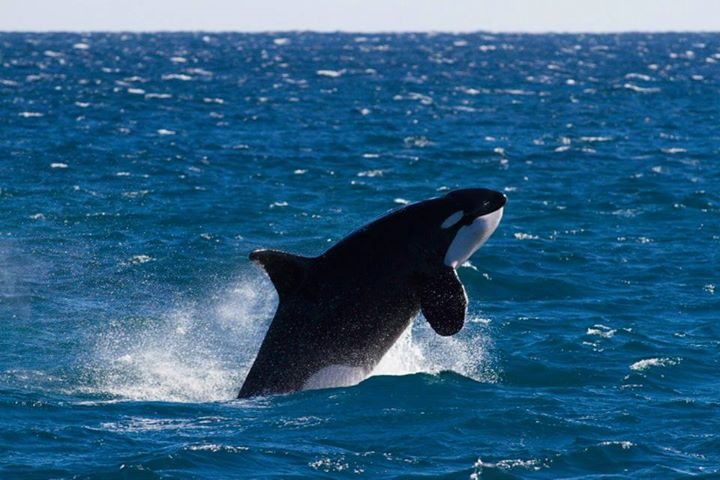 Augie the Killer Whale Western Australia