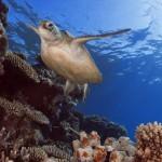 Sea Turtles in Australia