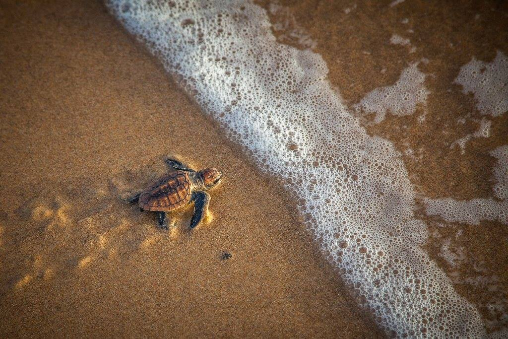Baby turtles on Diamond Beach