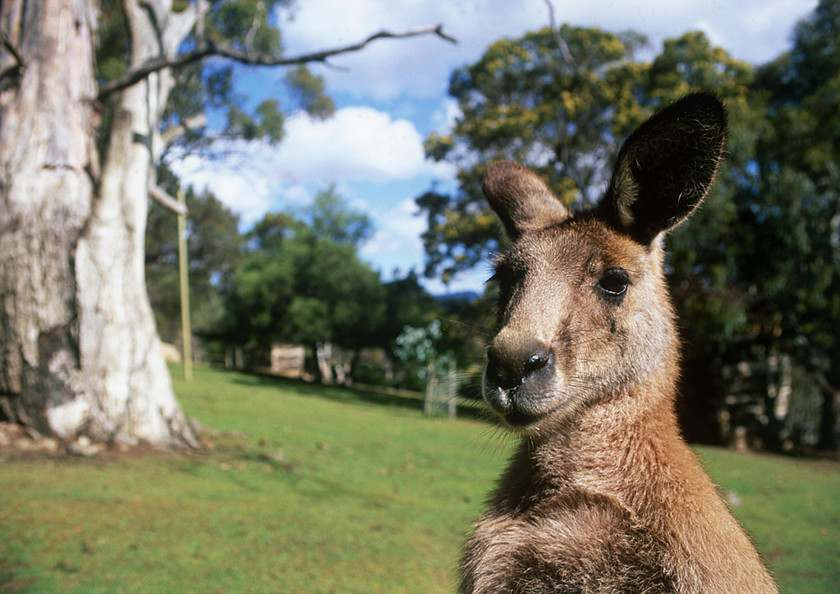 Must-See and Do in Australia - Kangaroo