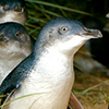 Phillip Island Penguin