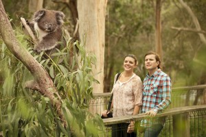 Koalas in the Wild | Australia Travel Deal | AboutAustralia.com