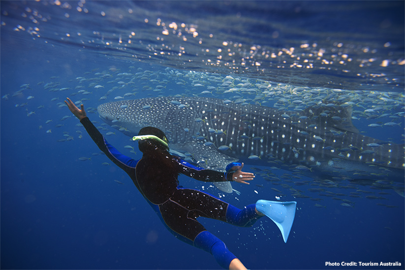 Swimming with Whale Sharks in Ningaloo Reef Exmouth photo credit Tourism Australia