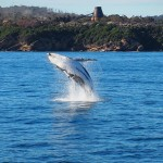 Whale Calf Breaching while Whale Watching in Australia