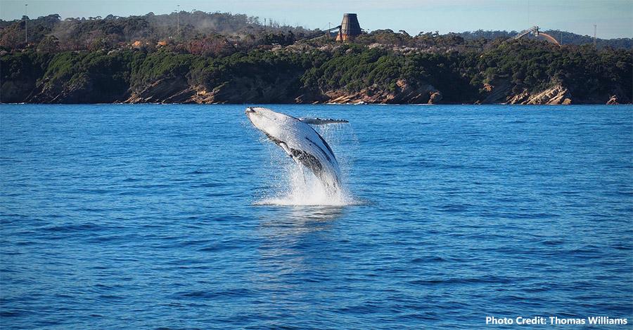 Whale Calf Breaching