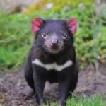 Tasmanian Devil. Photo Credit: Tourism Tasmania
