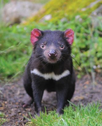 Tasmanian Devil. Photo Credit: Tourism Tasmania