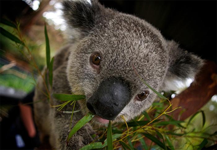 Close-up of a koala looking at the camera