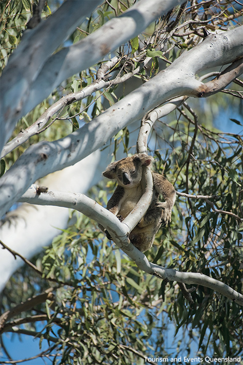 Koala in tree in Noosa National Park credit Tourism and Events Queensland