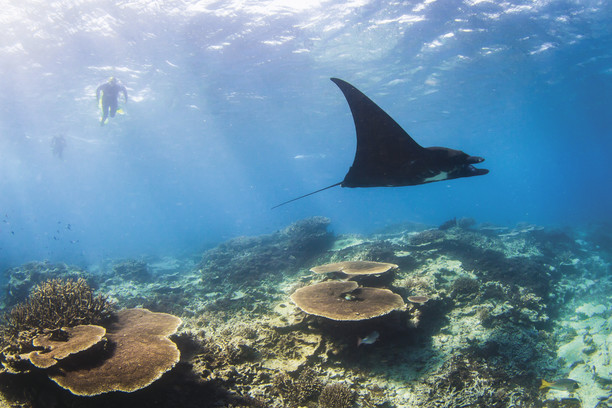 Snorkeler swimming alongside manta ray above coral reefs credit Tourism and Events Queensland