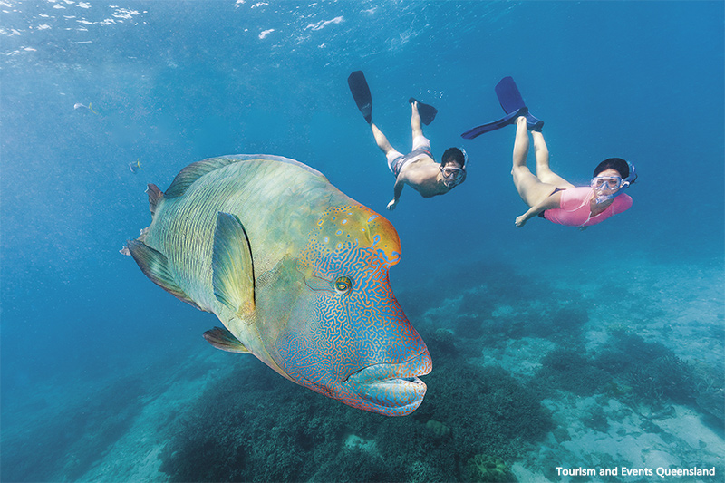 Snorkelers swimming with a Maori wrasse fish at the Great Barrier Reef credit Tourism and Events Queensland