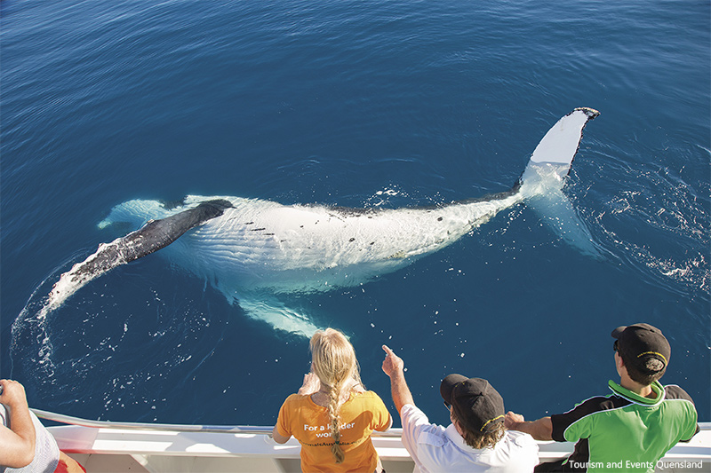 Whale Watching credit Tourism and Events Queensland