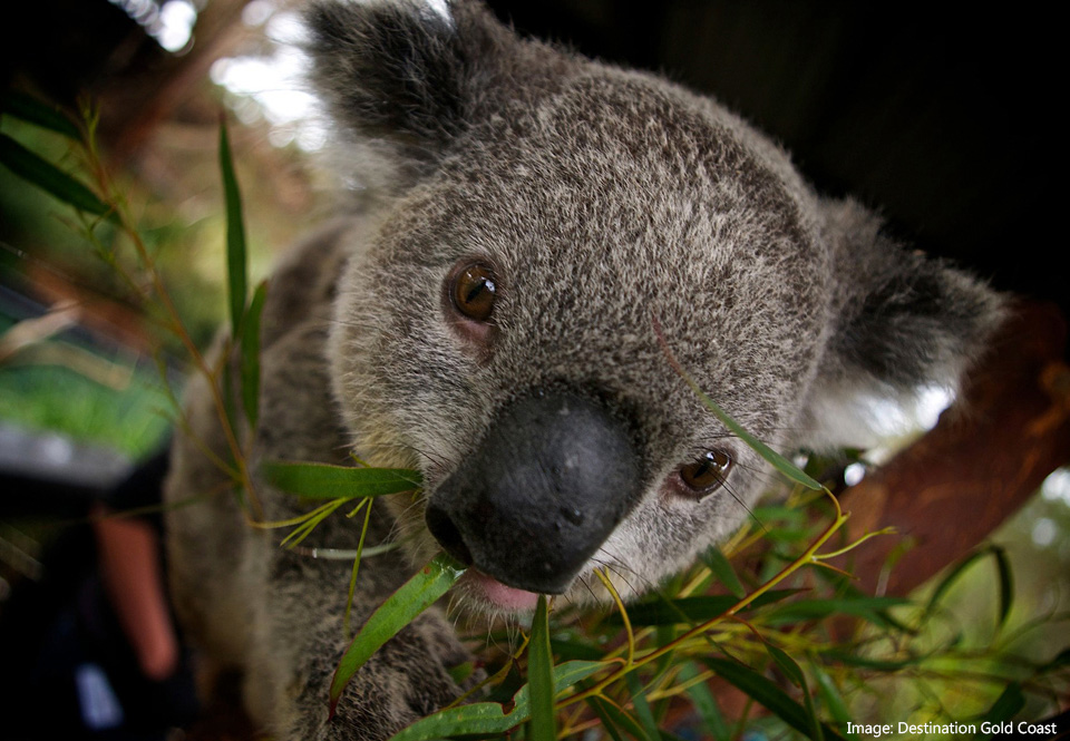 Close-up of a koala looking at the camera