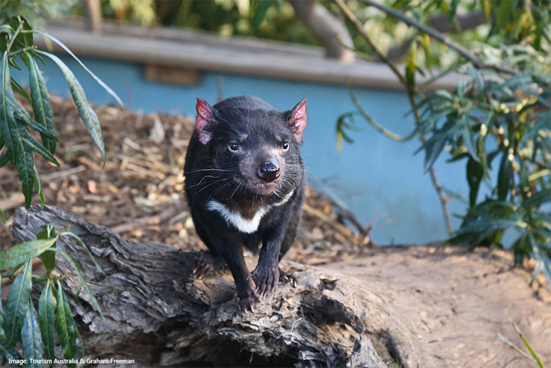 Tasmanian devil at Bonorong Wildlife Sanctuary credit Tourism Tasmania Graham Freeman