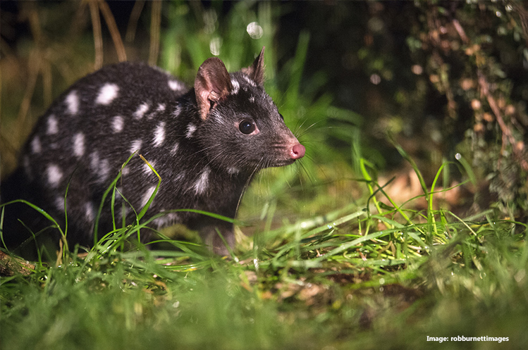 Spotted-tail Quoll at Cradle Tasmanian Devil Sanctuary, Cradle Mountain, TAS credit robburnettimages