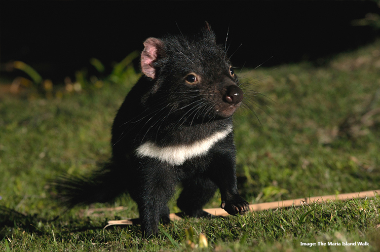Tasmanian Devil in the Maria Island Walk, Tasmania credit The Maria Island Walk