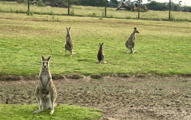 Kangaroos at Phillip Island Wildlife Park credit Unbound Outbound