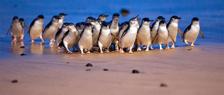 Phillip Island Penguins credit Visit Victoria