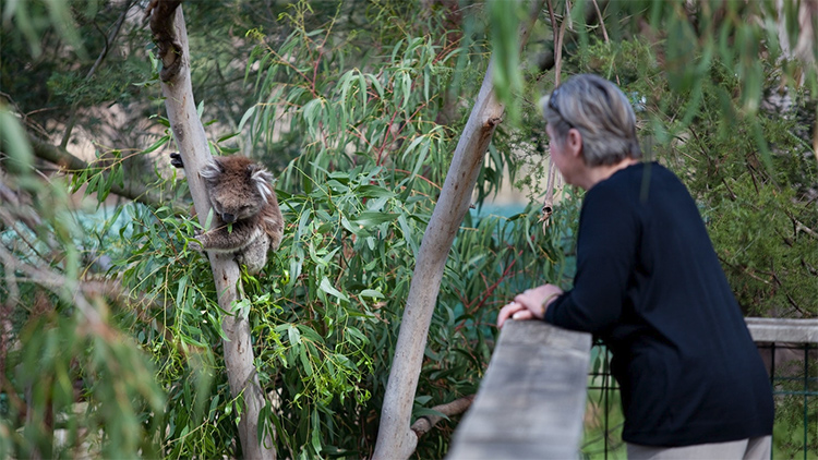 Visitor and koala at Koala Conservation Centre credit Visit Victoria