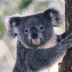 Koala at Taronga Zoo, Sydney credit Tourism Australia