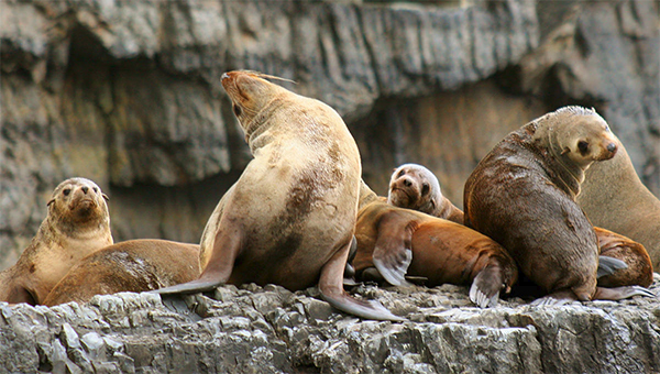 Tasman Island Cruises seal colony