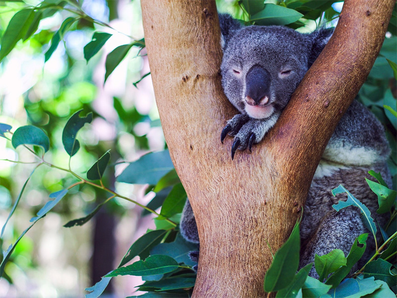 Koala in tree credit Tourism Queensland