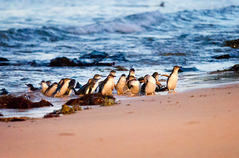Phillip Island Penguins credit Tourism Australia