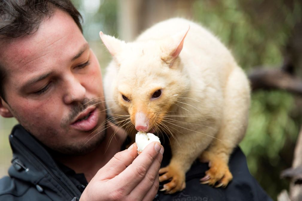 Bonorong Wildlife Sanctuary - Greg Irons and Brushtail Possum credit Tourism Tasmania Rob Burnett